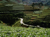 Road Winds Through Terraced Plantations