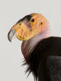 Critically Endangered California Condor  Gymnogyps Californianus