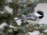 Black-Capped Chickadee  Poecile Atricapilla  in a Snow-Dusted Tree
