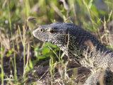 Close-up of a Monitor Lizard  Varanus Albigularis