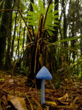 Blue Mushroom  Enteloma Hochstetteri  under a Ponga Fern