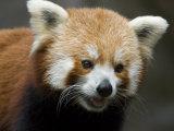 Captive Endangered Red Panda