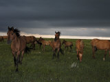 Winds Blow in a Summer Storm as Dark Clouds Loom over a Mustang Herd