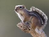 Harris' Antelope Squirrel  Ammospermophilus Harrisii