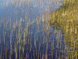 Marsh Grass Along the Shoreline
