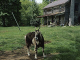 Tethered Goat Near an Old Homestead on a Farm