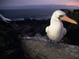Masked Booby  Sula Dactylatra  Perched on a Rock at Twilight