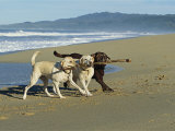 Three Labrador Retrievers on One Stick at Beach