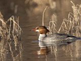 Female Common Merganser  Mergus Merganser  in Water
