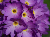 Close-up of a Cluster of Purple Primrose Flowers
