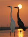 Great Egret  Egretta Alba  in Front with Blue Heron at Sunset