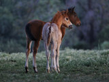 Two Foals Watch Studs Fight  Learning the Behavior They Will Imitate
