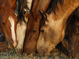Wild Mustangs Graze at the Wild Horse Sanctuary