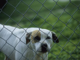 Pet Dog Behind a Chain Link Fence