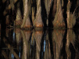 Bald Cypress Trees  Taxodium Distichum  and Reflection in Swamp Water