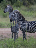 Plains Zebra  Equus Quagga  Parent and Young