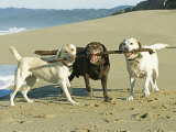 Three Labrador Retrievers on One Stick at Beach