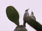 Pair of Galapagos Mockingbirds  Nesomimus Parvulus  on a Cactus