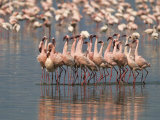 Lesser Flamingos Rubber-Necking in a Courtship Display