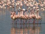 Lesser Flamingos Rubber-Necking in a Courtship Display Papier Photo par John Eastcott & Yva Momatiuk