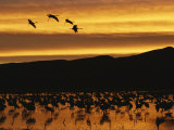 Sandhill Cranes  Grus Canadensis  in Water at Sunrise