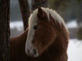 Wild Horse in the Snow Covered Ochoco National Forest
