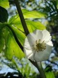 Mayapple Flower Up Close