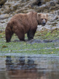 Alaskan Brown Bear Foraging for Food Along the Waters Edge