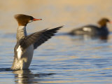 Female Common Merganser in Water with Wings Extended