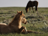 Protected Wild Mustang Foal Rests in a Meadow
