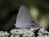 Gray Hairstreak Butterfly Sipping Queen Anne's Lace Nectar
