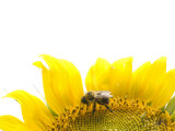 Bee Gathering Pollen in a Sunflower  Helianthus Annuus