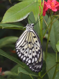 Captive Paper Kite Butterfly  Idea Leuconoe  Hanging from a Leaf