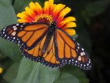 Monarch Butterfly  Danaus Plexippus  on a Flower