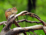 Eastern Chipmunk with Full Cheek Pouches Sits on a Branch