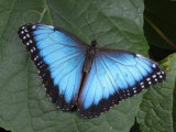 Blue Morpho Butterfly  Morpho Peliedes  Lights on a Green Leaf