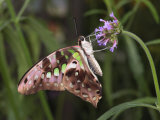 Tailed Jay Butterfly  Graphium Agamemnon  Sips Nectar from a Flower