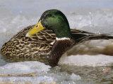 Male Mallard Duck in an Icy Waterway with Female Feeding Nearby