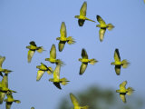 Flock of Airborne Peach-Fronted Parakeets