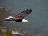 American Bald Eagle  Haliaeetus Leucocephalus  Soaring