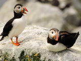 Two Atlantic Puffins on a Rock One Is Calling