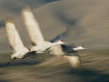 Three Sandhill Cranes  Grus Canadensis  in Flight  Showing Motion