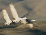Three Sandhill Cranes  Grus Canadensis  in Flight  Showing Motion