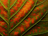 Backlit  Close-up of a Smoke Tree Leaf  Cotinus Coggygria