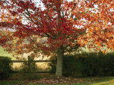 Sunlight on a Maple Tree in Fall Foliage