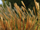 Miscanthus or Chinese Silver Grass