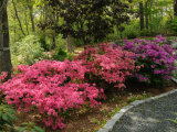 Azaleas in Bloom in a Wooded Garden Setting