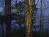 Birch Tree in a Foggy Forest at Twilight