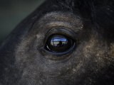 Captured Wild Horse Eyes His Surroundings after Capture