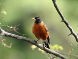 American Robin on a Tree Branch